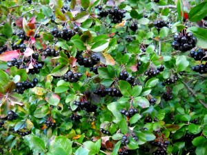 Black Chokeberry (Aronia Melanocarpa) Overview, Health Benefits, Side effects (2)