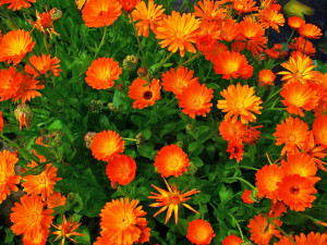 Calendula-officinalis-Pot-Marigold1