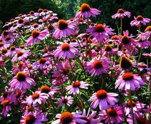 Echinacea_PurpleConeflower4