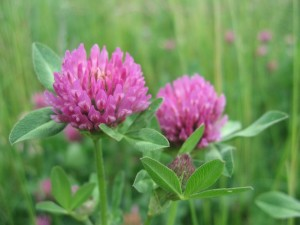 redclover