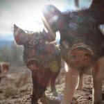 Harvesting Animals Humanely