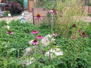 echinacea garden