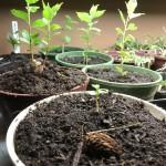 Plant Propagation 4: Artificial Germination