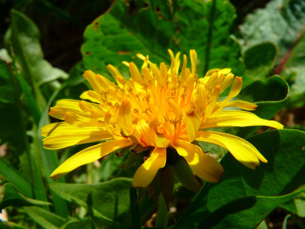 Dandelions Medicinal Uses