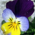 Uses of Viola tricolor