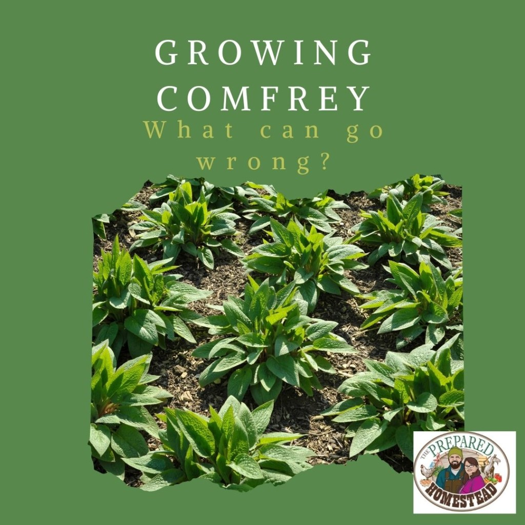 Comfrey Starts – What Can Go Wrong?